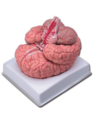 BRAIN WITH ARTERIES - life size