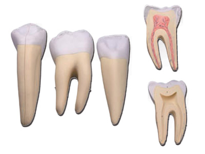 3 TEETH SET (incisor, canine and molar)